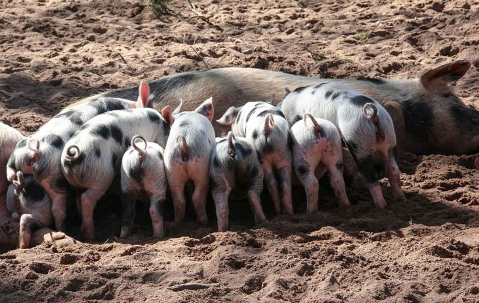 Mein armer Rücken, ihr Schweine!